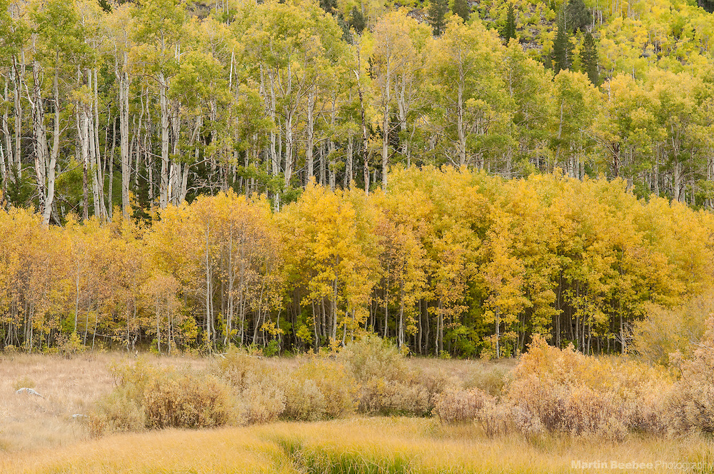 Forest of quaking aspen (Populus tremuloides), fall, Green Creek Area, Toiyabe National Forest, California