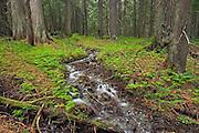 Stream in inland temperate rain forest. Hemlock Grove<br /> Glacier National Park<br /> British Columbia<br /> Canada