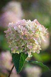Hydrangea paniculata 'Little Lime' syn. 'Jane' in autumn colour.