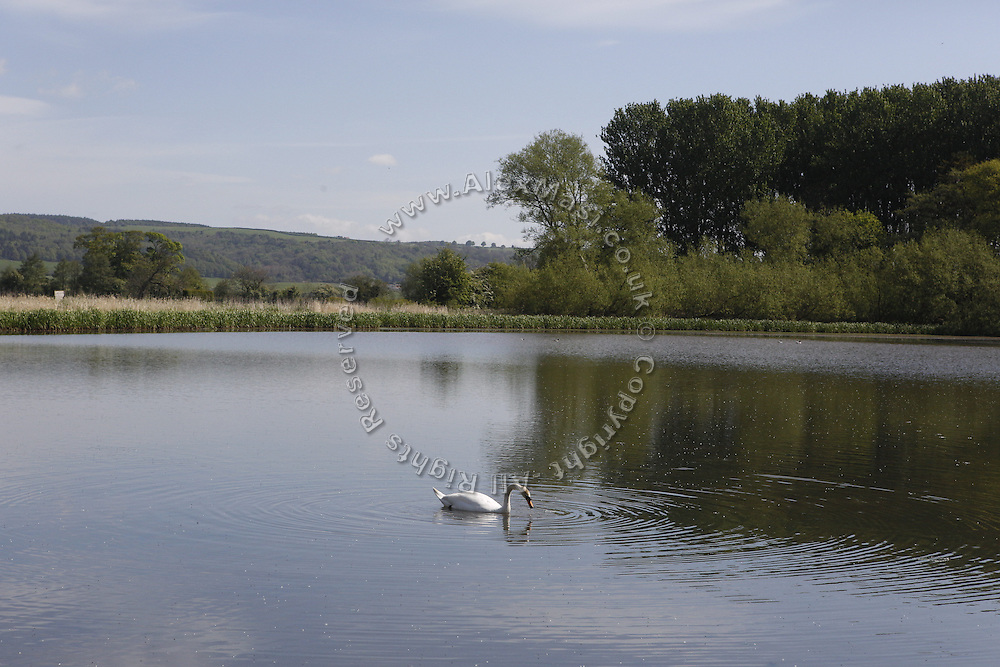 A swan is floating on a pond near Coxwold, Yorkshire, England, United Kingdom.