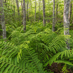 Ferns in a forest in Epping, New Hampshire.