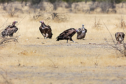 Lappetfaced Vulture at Etosha National Park, Namibia, Africa