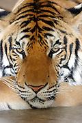 Tiger looking sad