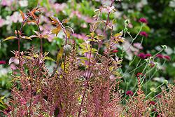 Emerging flowers of Astilbe 'Fanal'