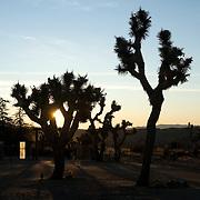 Sunrise through Joshua trees at Rimrock Ranch Cabins, Pioneer Town, California.