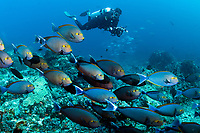 Surgeonfishes and Diver<br /> <br /> Shot in Indonesia