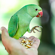 A wild green parakeet feeds from a person's hands. Wild green parakeets are seen Interacting with people in St James' Park in central London on Monday, June 22, 2020. <br />