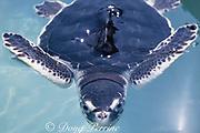 juvenile Kemp's ridley sea turtle, Lepidochelys kempii (c), in experimental tank at the University of Miami, Rosenstiel School of Marine and Atmospheric Science, Miami, Florida, USA