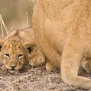 Lion, (Panthera leo)  Cub. Masai Mara Game Reserve. Kenya. Africa.