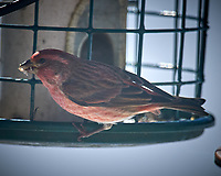House Finch. Image taken with a Nikon D5 camera and 600 mm f/4 VR lens (ISO 100, 600 mm, f/4, 1/2500 sec).
