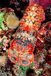 regal slipper lobster, Arctides regalis, Kona, Big Island, Hawaii, Pacific Ocean