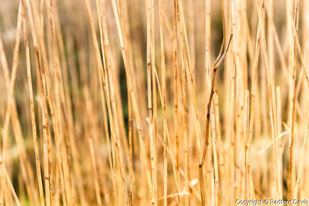 Tall grass, Dingle Peninsula, Ireland
