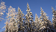 The Clatsop State Forest, at 1600 feet in the coast range of northern Oregon, after a rare snow storm.