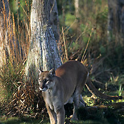 Florida Panther (Felis concolor coryi) in the Florida Everglades.  Captive Animal.  Endangered Species.