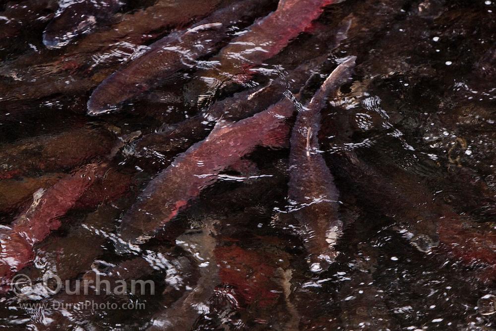 Coho slamon (Oncorhynchus kisutch) move upstream in Cedar Creek to the Sandy Fish Hatchery, Oregon.