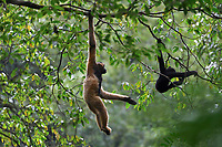 Mother training her young on for a life in the canopy, Black crested gibbon, Nomascus concolor, Wuliangshan Nature Reserve in Jingdong county, Yunnan, China. This is one of four subspecies and this subspecies is named Central Yunnan black crested gibbon, Nomascus concolor jingdongensis. It only occurs in a small region around the Wuliang Mountain, between the Mekong and Chuanhe rivers in west-central Yunnan.<br /> <br /> Conservation: The black crested gibbon is listed as critically endangered on the IUCN Red List. An estimated 1300 to 2000 individuals are left in the wild.<br /> <br /> The black crested gibbon inhabits tropical evergreen, semievergreen, deciduous forests in subtropical and mountainous areas at high altitudes, from 2100 to 2400 m above sea level.