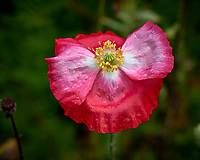 Red nd pink poppy flower after the rain. Backyard summer nature in New Jersey. Image taken with a Leica T camera and 55-135 mm lens (ISO 400, 135 mm, f/5.6, 1/400 sec).