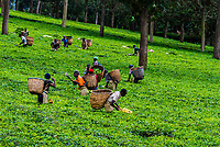Workers picking green tea on a tea estate in the Kabarole District, Western Uganda.