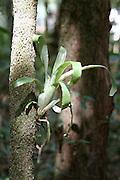 Divinopolis_MG, Brasil...Detalhe de uma planta em uma arvore no parque do Gafanhoto...Detail of the plant on the tree in the Gafanhoto park...Foto: LEO DRUMOND / NITRO