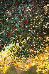 Holly berries in a Devon hedgerow. Ilex aquifolium