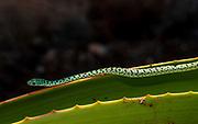 Spotted Bush Snake (Philothamnus semivariegatus) from Zimanga, South Africa.