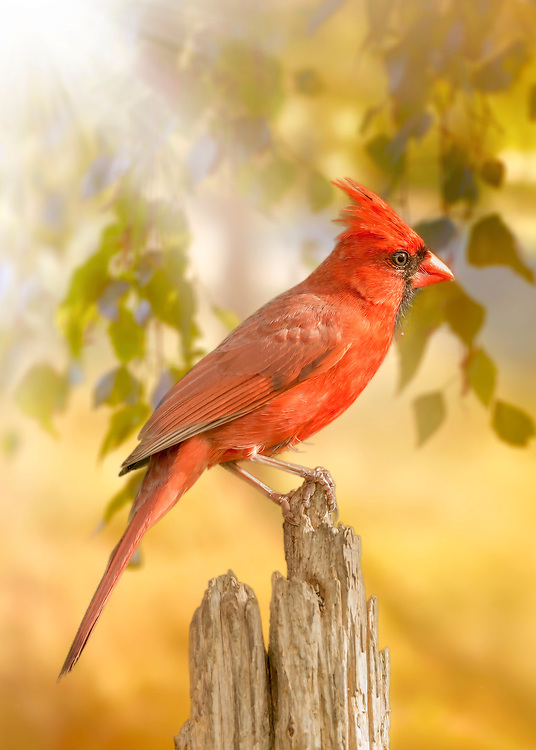 Mr. Cardinal stopped on my perch for a quick snap against a backdrop of light peeking through the trees