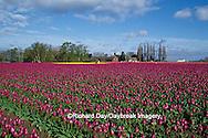 67221-00220 Purple Tulips in field   Skagit Valley  WA