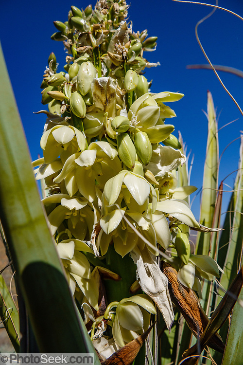 Yucca plant with yellow flowers. We hiked the Palm Canyon Trail to Indian Potrero Trail to Stone Pools, and looped back via Victor Trail, in the Indian Canyons, Palm Springs, California, USA. The beautiful Palm Canyon Trail takes you through the world's largest California Fan Palm oasis. The Indian Canyons are the ancestral home of the Agua Caliente Band of Cahuilla Indians.