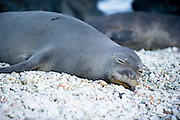 A Hawaiian Monk Seal sleeps on the rocks.