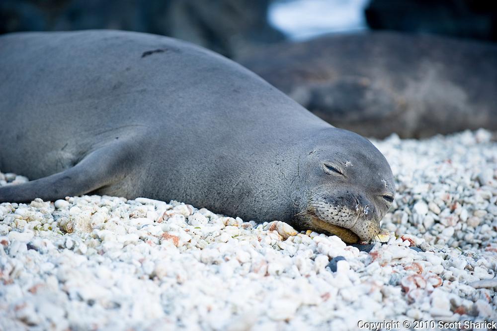 A Hawaiian Monk Seal sleeps on the rocks.