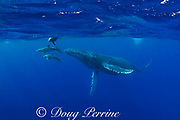 humpback whale, Megaptera novaeangliae, with rough-toothed dolphins, Steno bredanensis, bowriding on rostrum, Vava'u, Kingdom of Tonga, South Pacific