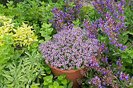 Origanum vulgare in a terracotta pot surrounded by Nepeta in the herb garden at Hindringham Hall, Hindringham, Norfolk, UK