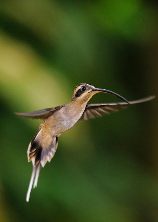 Ermitaño Piquilargo / colibríes de Panamá.<br /> <br /> Long-billed Hermit / hummingbirds of Panama.<br /> <br /> Phaethornis longirostris.<br /> <br /> Edición de 25 | Víctor Santamaría.