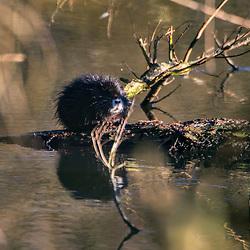 """""""Filhote de Ratão-do-banhado (Myocastor coypus) fotografado na Alemanha, na Unição Européia - Europa. Registro feito em 2016.<br /> ⠀<br /> <br /> ENGLISH: River Rat baby, photographed in Germany, in European Union - Europe. Picture made in 2016."""""""