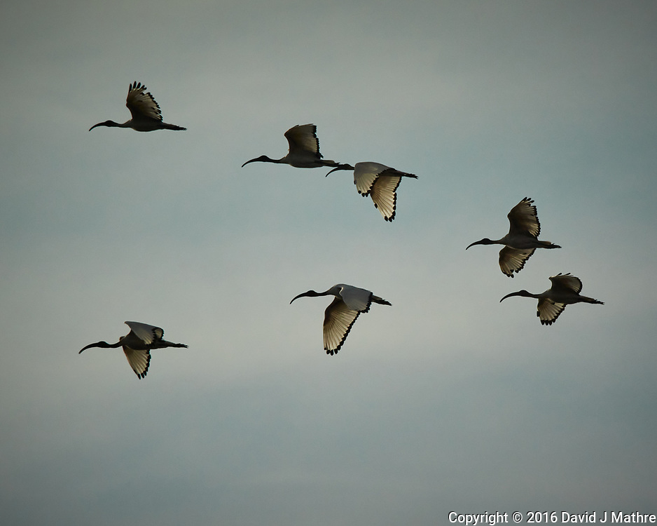 African Sacred Ibis. Zambezi River Wildlife Tour. Image taken with a Nikon 1 V3 camera and  70-300 mm VR lens