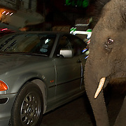 """Bangkok, Thailand - FEB 17 2006: A young elephant almost collides with a car on the streets of Bangkok. The official reason """"domesticated"""" elephants are illegal in cities is because they are involved in so many traffic accidents. City life is terrible for the elephant - they can eat between 250 - 525 pounds of food a day in the wild - about six to eight percent of their own body weight in vegetation each day. To accomplish this, they spend as many as 18 hours per day feeding. These massive animals can drink 26 gallons (100 liters) of water at one time and, when thirsty, more than 55 gallons (208 liters) within minutes. Obviously, city life is not friendly to these needs. Asian elephants - strong, social, and intelligent - have been trained for thousands of years for use in transportation, labor, and ritual. In Thailand, Elephants are of immense cultural importance, but their numbers are shockingly plummeting. In 1905, there were over 100,000 elephants in this land - now they are estimated at less than 5,000, of which barely half are in the wild.  (Photo by Logan Mock-Bunting)"""