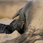 Northern Elephant Seal, (Mirounga angustirostris)  Newborn pup nursing. California.