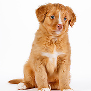 20151109 Toller Puppies