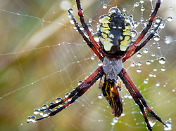 July 26, 2018 - Elkton, OREGON, U.S - A yellow garden spider (Argiope aurantia) hangs in her dew soaked web in a field on a farm near Elkton in rural western Oregon. Yellow garden spiders are not aggressive. A bite is comparable to a bee sting with redness and swelling. (Credit Image: © Robin Loznak via ZUMA Wire)