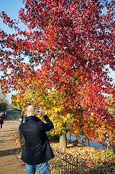 © Licensed to London News Pictures. 01/11/2015. London, UK. A man takes a picture of a tree displaying a full rage of autumn colours, from green through to deep red, in Hyde Park, Central London.  Photo credit: Ben Cawthra/LNP