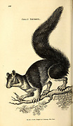 Great Squirrel from General zoology, or, Systematic natural history Vol 2 Mammalia, by Shaw, George, 1751-1813; Stephens, James Francis, 1792-1853; Heath, Charles, 1785-1848, engraver; Griffith, Mrs., engraver; Chappelow. Copperplate Printed in London in 1801 by G. Kearsley