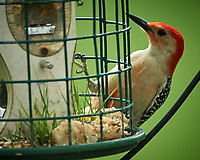 Red-bellied Woodpecker. Image taken with a Nikon D5 camera and 600 mm f/4 VR lens.