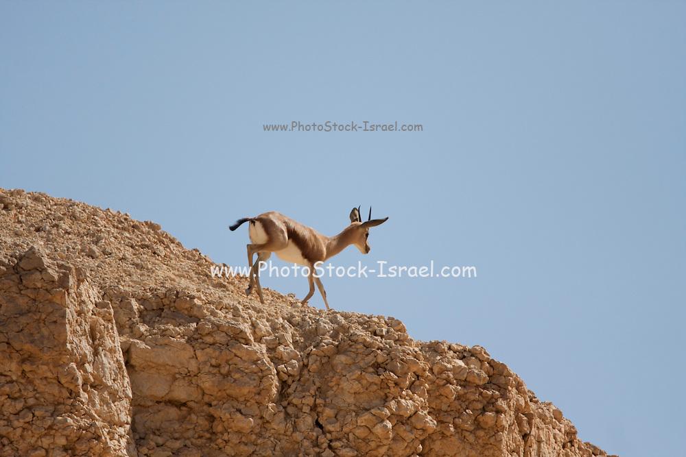 Dorcas Gazelle (Gazella dorcas), also known as the Ariel Gazelle on a cliff Photographed in the Negev Desert, Israel