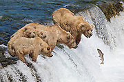 Alaska, Katmai National Park, Brooks Fallls .  Grizzly bear, fishing for salmon that are migrating up a waterfall.