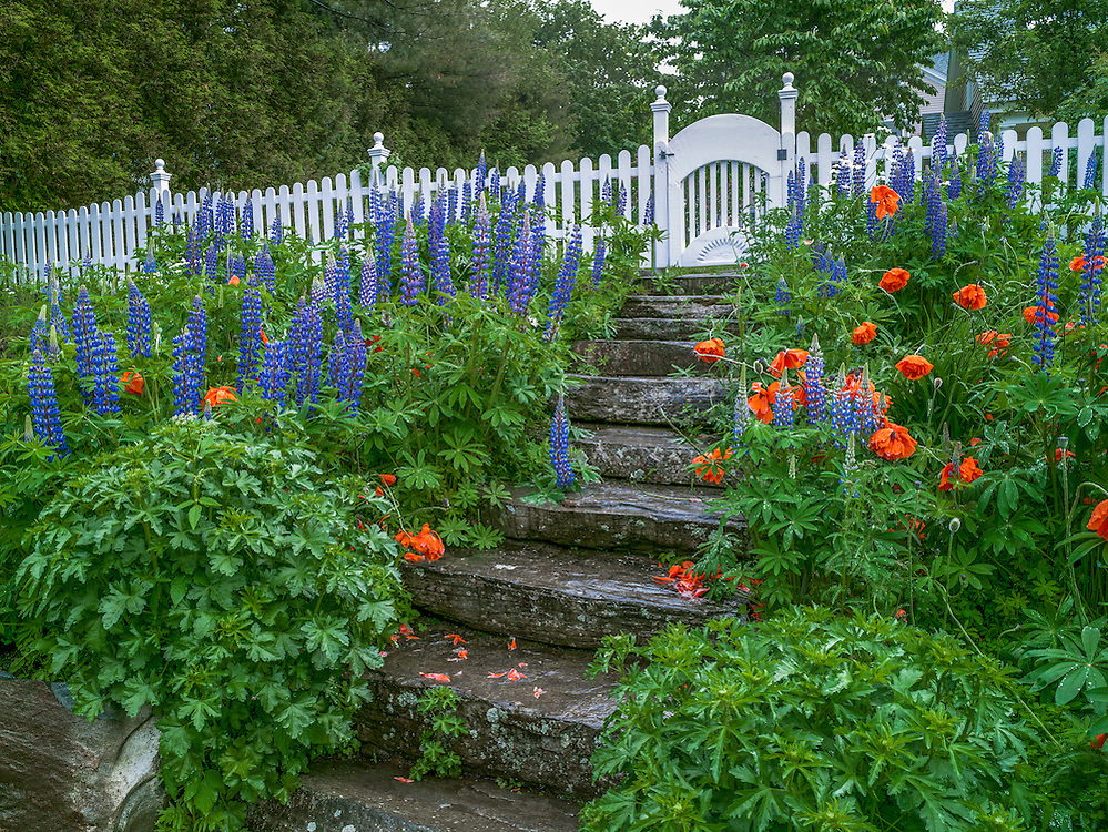 Spring flower garden along granite steps and white picket fence, colorful contrast of purple lupines & orange poppies, Camden, ME