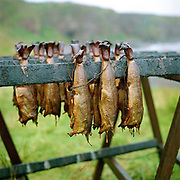 Arbroath smokies hanging on sticks after being smoked on Auchmithie beach near Arbroath, Scotland. Arbroath smokies originated in Auchmithie, a small fishing village a few miles north of Arbroath. Only haddock can be used to produce an authentic 'Arbroath Smokie'. After cleaning, salting and washing, the fish are then tied by the tail in 'pairs' and hung on sticks. The smokie pit is then prepared. A hole is dug in the ground and a half whisky barrel is set into it, after lining with slates a hardwood fire of beech and oak is lit inside. The sticks of fish are then placed over the pit and a hessian cover allows the fire to breath and maintain the required heat.