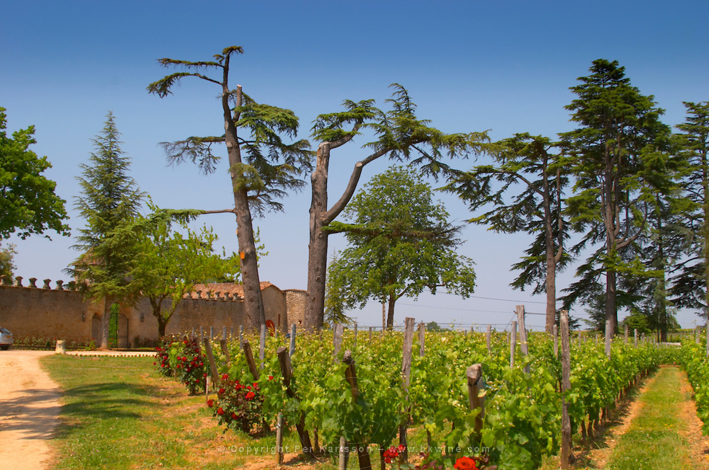 The stone wall and main entrance, the vineyard and an old cedar tree very damaged by strong storm winds Chateau de Pressac St Etienne de Lisse Saint Emilion Bordeaux Gironde Aquitaine France
