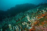 Invasive Anemones cover former black coral on a deep seamount at 30 M depth.<br /><br />Coiba Island<br />Coiba National Park<br />Panama<br /><br />Bajo Veinte dive site