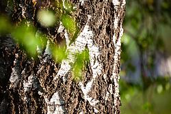 THEMENBILD - die Rinde des Birkenstamm im Detail, aufgenommen am 28. April 2018, Kaprun, Österreich // the bark of the birch trunk in detail on 2018/04/28, Kaprun, Austria. EXPA Pictures © 2018, PhotoCredit: EXPA/ Stefanie Oberhauser