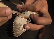 The  Ornithologist taking blood sample from a desert bird, for DNA study. Detail of a desert bird called Shrike,  a carnivorous passerine birds of the family Laniidae.